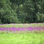 Blühende Wiese in der Walsumer Rheinaue