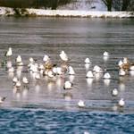 Silbermöwen (Larus argentatus) und Lachmöwen (Chroicocephalus ridibundus) auf dem Ümminger See