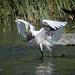 Grande aigrette / Great Egret by sergeforcier