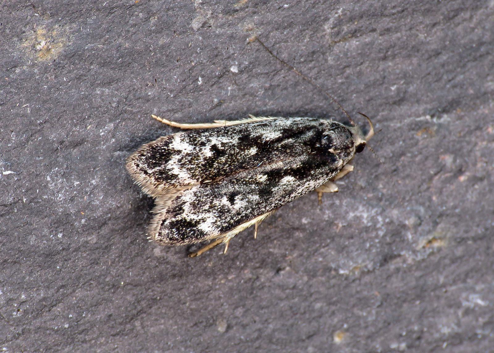 35.012 Birch Sober - Anacampsis blattariella