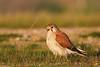 Nankeen Kestrel (Falco cenchroides) by patrickkavanagh