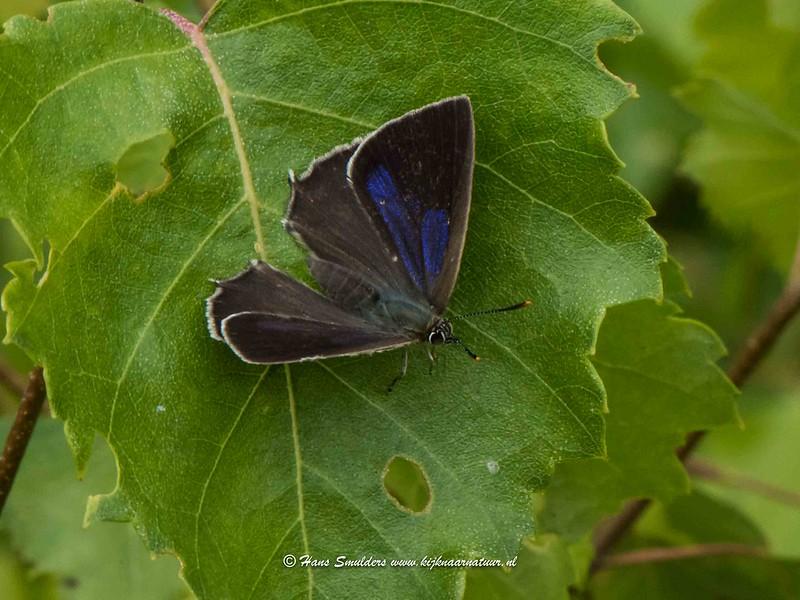Eikenpage (Neozephyrus quercus)-818_4993