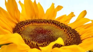 Sunflower   by blumcole6