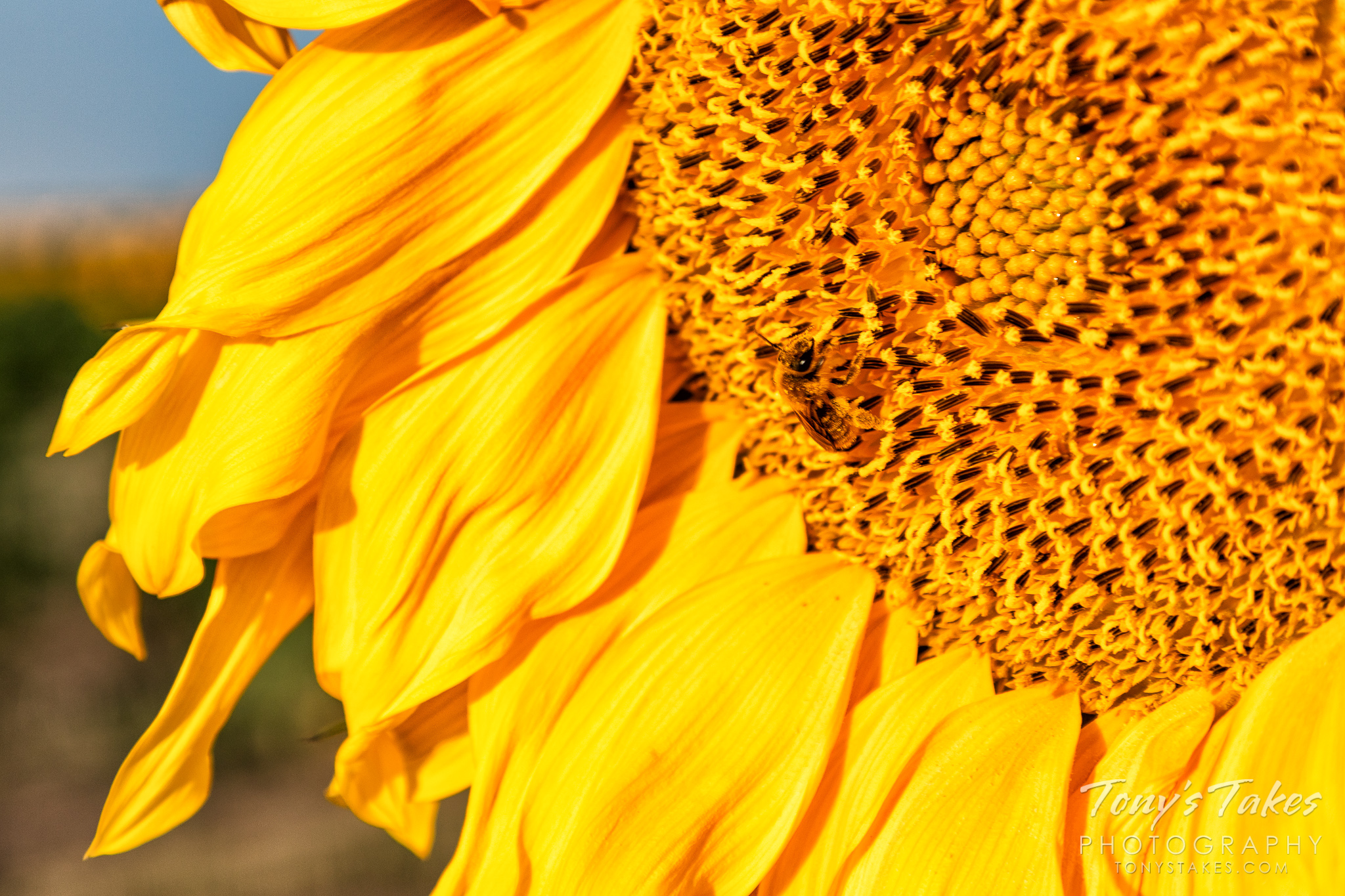 A bee busily works on a blooming sunflower on the Colorado plains. (© Tony's Takes)