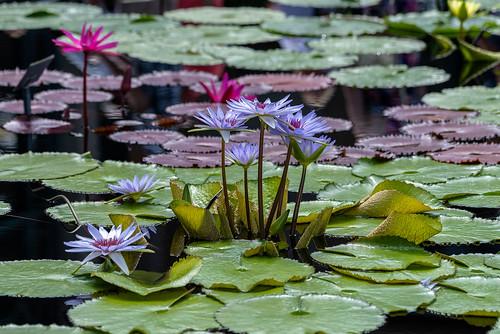 d750 longwoodgardens nikond750 sb900 flash landscape speedlight waterlily nikkor200500mmf56 gdajewski dajewski pond gardens waterlilypond