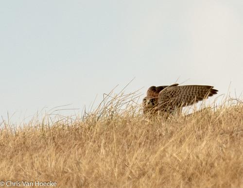 Jagende torenvalk (3)