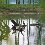 Stockenten (Anas platyrhynchos) und Kormoran (Phalacrocorax carbo carbo) in der Walsumer Rheinaue