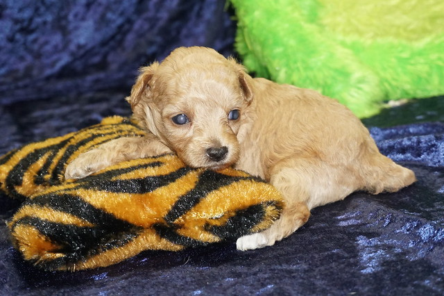 Havapoo – TLC Puppy Love