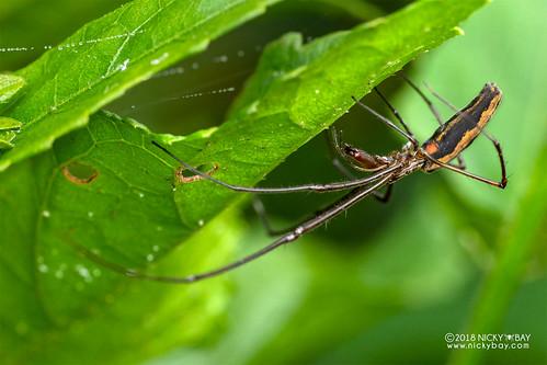 Big-jawed spider (Tetragnatha sp.) - DSC_7043 | by nickybay