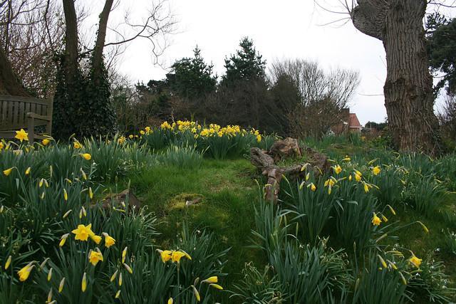 Daffodils near Brancaster