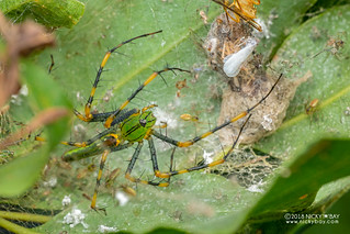 Green lynx spider (Peucetia madagascariensis) - DSC_7249 | by nickybay