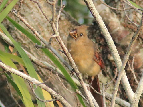 Northern Cardinal juvenile 20180811
