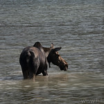 Moose in Swiftcurrent Lake