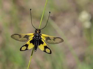 Croatia - Sulphur Ascalaphid (Owlfly) - Libelloides coccajus (June 6th) | by ArtFrames
