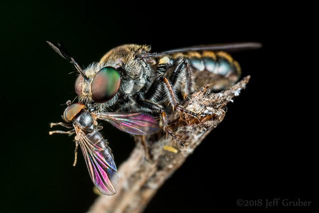 Robber Fly (Cerotainia sp.) with prey