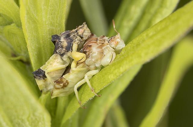 Ambush Bugs