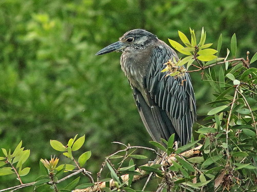 Yellow-crowned Night-Heron sub-adult immature 20180808