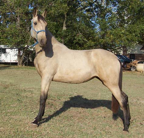 Tennessee Walking Horse filly | Buckskin yearling sired by J… | Flickr