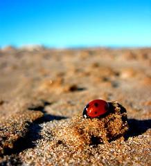 Coccinellidae II - Mariquita in the beach | by Carol.78