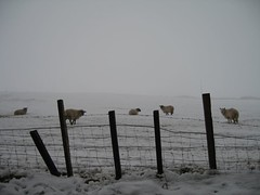 Ovejas en la nieve | by bea & txm & alan