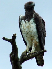 Martial Eagle | by Jacques S G