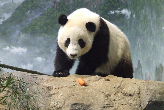 Tai Shan eyes the carrot