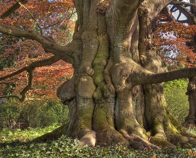 Red BeechTree trunk
