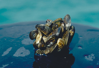 Zebra Mussel Cluster | by USFWS Fish and Aquatic Conservation