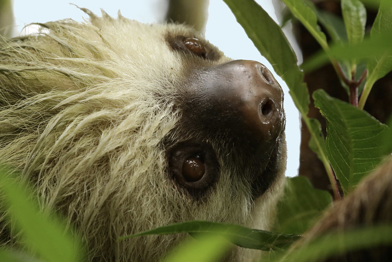 Hoffman's Two-toed Sloth, Choloepus hoffmanni_199A8043