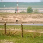 Graugänse (Anser anser) und Kormoran (Phalacrocorax carbo carbo) in der Walsumer Rheinaue