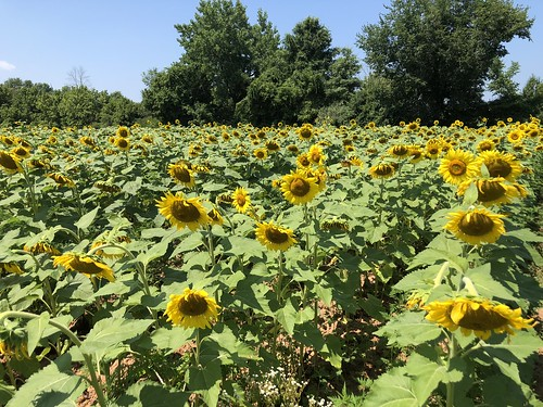 Photo of sunflower field at McKee-Beshers Wildlife Management Area