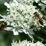 Riesen-Bärenklau (Heracleum mantegazzianum) mit Westlichen Honigbienen (Apis mellifera) in der Heisinger Ruhraue