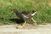 Gallinula chloropus (Moorhen) - Bird Island, Seychelles by Nick Dean1