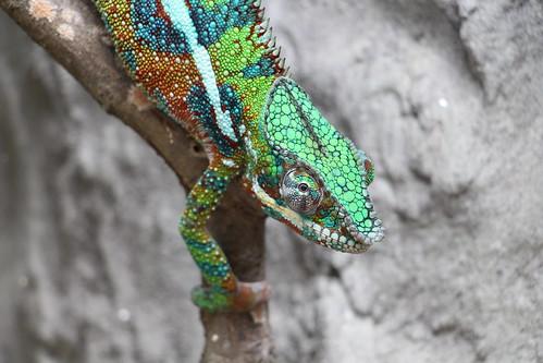 Chameleon | by demeeschter