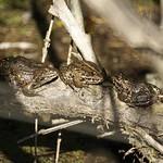 Drei Teichfrösche (Pelophylax esculentus) sonnen sich an einem Herbsttag in der Heisinger Ruhraue