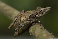 Quevedo Snouted Treefrog - Scinax sugillatus