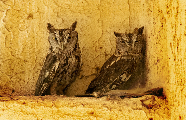 Young California Great Horned Owls