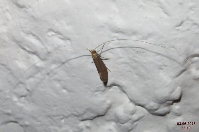 Nematopogon metaxella (FG)