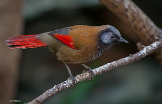 A red-tailed laughingthrush. | by Phil Marion (176 million views - THANKS)