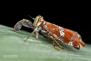 Planthopper (Lophopidae) - DSC_3881
