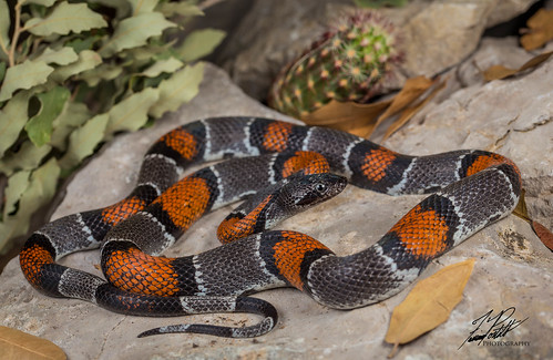 Gray-Banded Kingsnake | by Frank Portillo