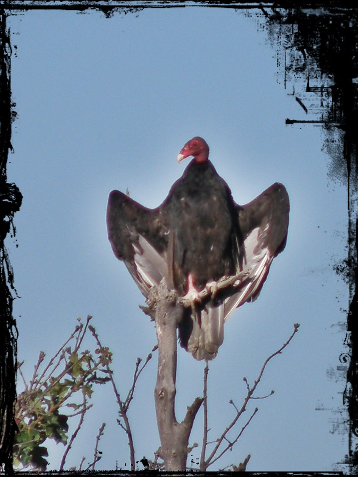 P9039385...scavengerofdeath / Turkey Vulture