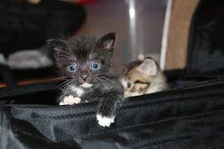37/365/3689 (July 18, 2018) - It's Still Kitten Season! Cats and Kittens at Crafty Cat Rescue (Ann Arbor, Michigan) - Wednesday July 18th, 2018 | by cseeman