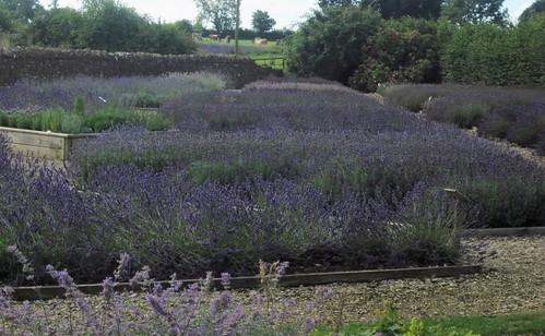 150815 003 Somerset Lavender, Faulkland