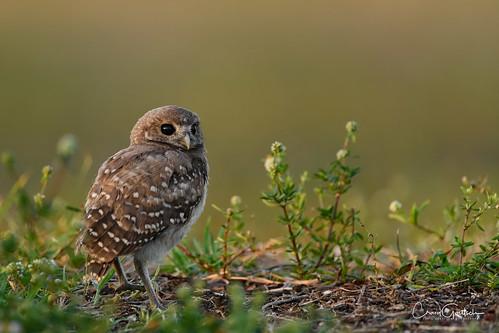 sanibel2018 burrowingowls capecoral owl chick owlette green bird avian wildlife nature nikon d850 ngc