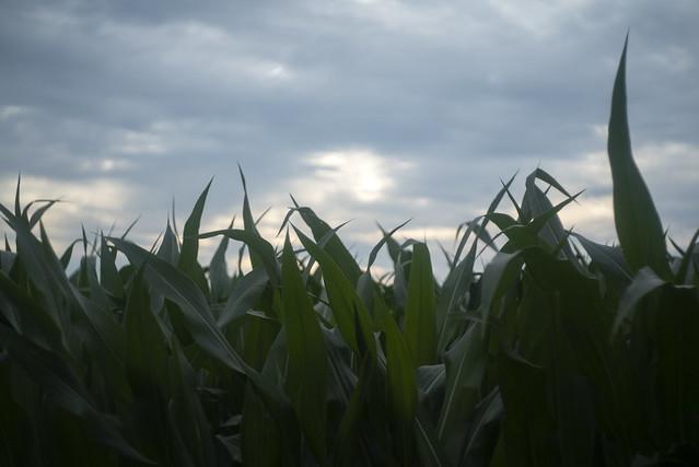 Corn and June Sky