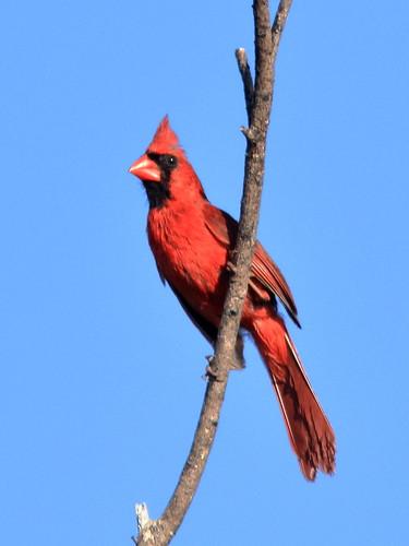 Northern Cardinal 01-20180705