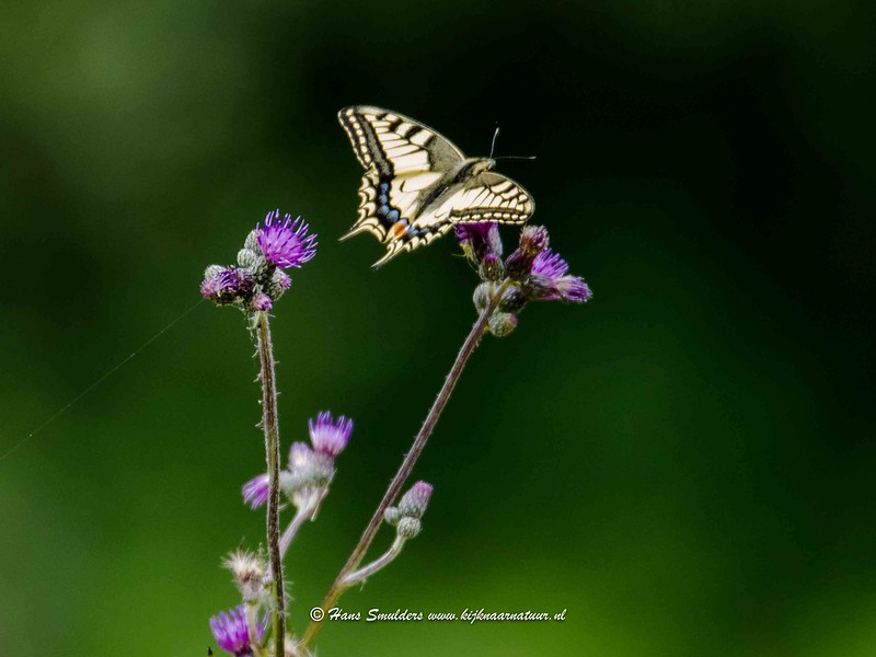 Koninginnepage (Papilio machaon)-818_5108