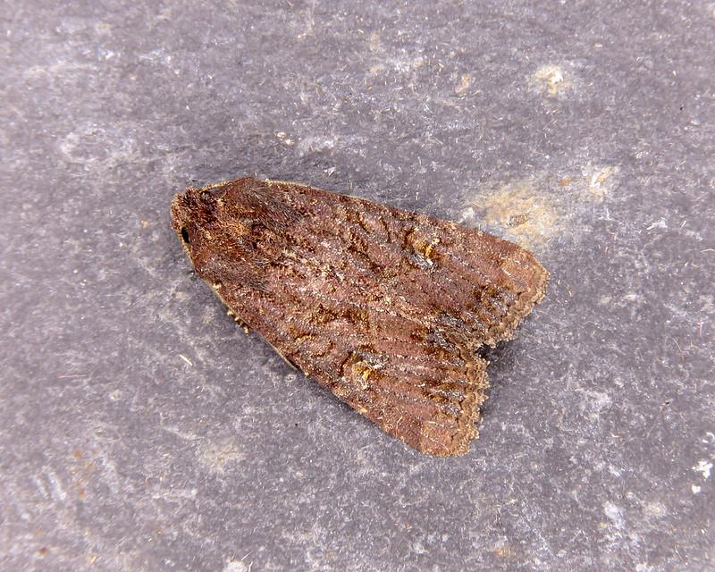 73.169 Common Rustic - Mesapamea secalis