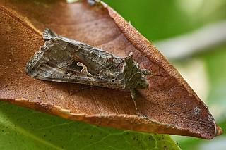 Y moth on dead camellia leaf #3 | by Lord V